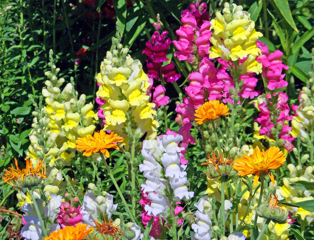 Snapdragons in Tallahassee, Florida.jpg