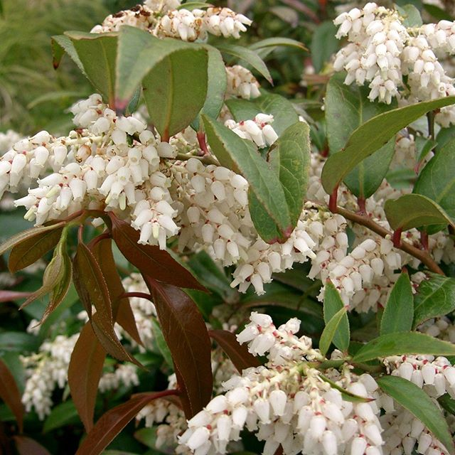 Mr. D's Plant of the Week Series: Dog HobbleJust posted @ Dickersonlandscaping.comAfter you read the article post your thoughts and comments here.Thanks!