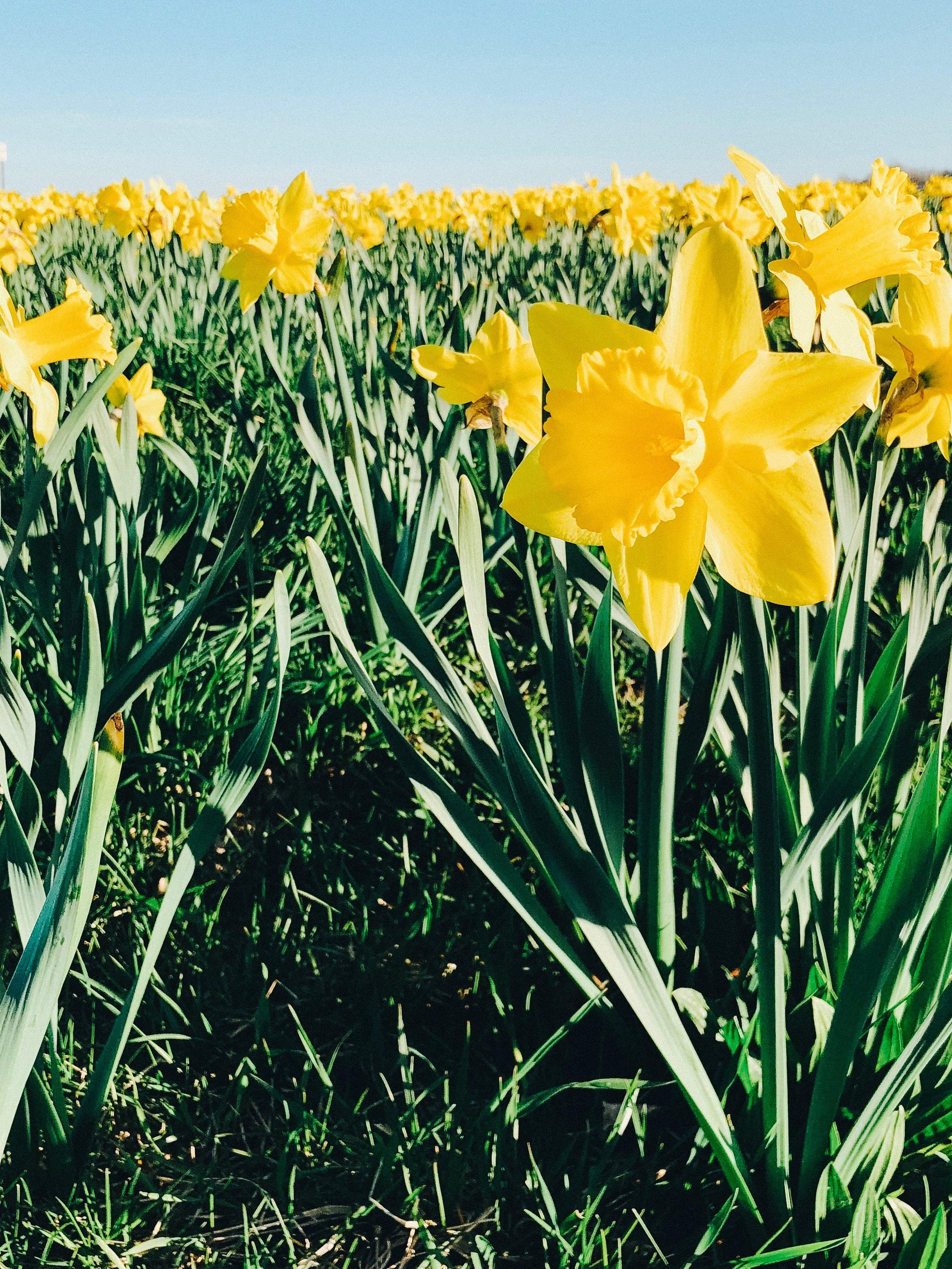 caitlin-elizabeth-james-Newport-Rhode-Islands-Daffodil-Days