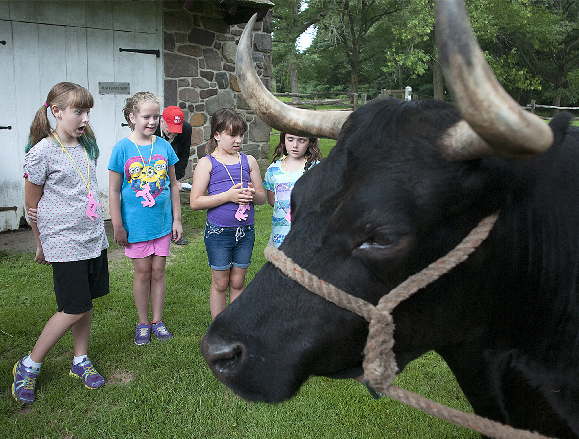 Camper Mia Feeley, 9, of Fairless Hills, watches wide-eyed as Bill the resident Dexter Steer trained as an ox relieves himself in the field as kids learn about life and animals during the Colonial era during camp at Pennsbury Manor on Tuesday, July 14, 2015.