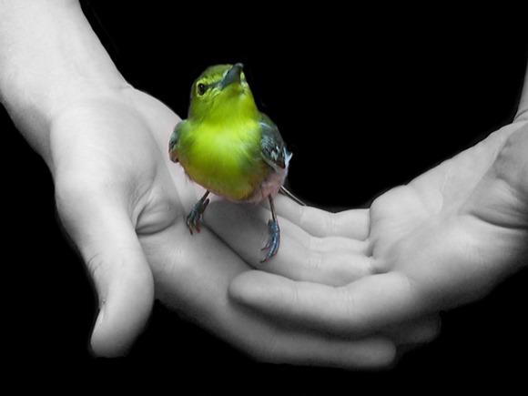 Freedom Yellow Bird in Hands.jpg