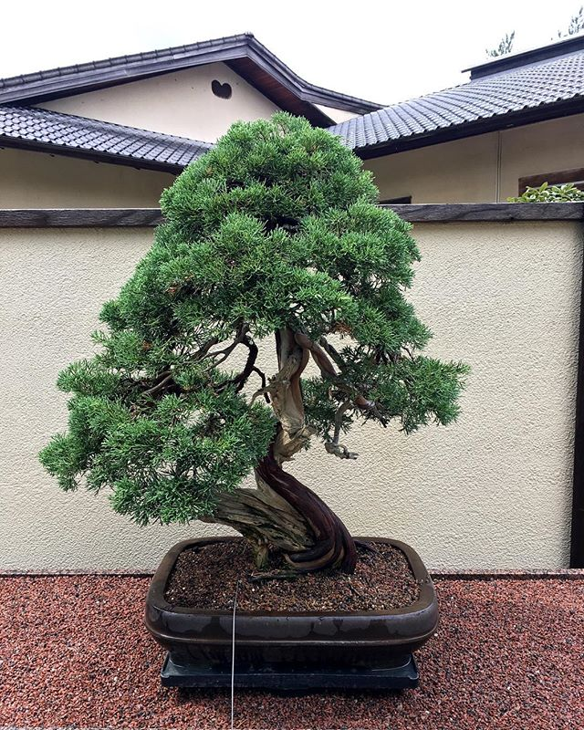 But, this Bonsai tree is 275 years old... 👀 . . . . #montrealmoments #insectarium #bonsai #bonsaitree #architecture #justgoshoot #lovenature #tinytree #ohwowyes #areyoushittingme #notworthy