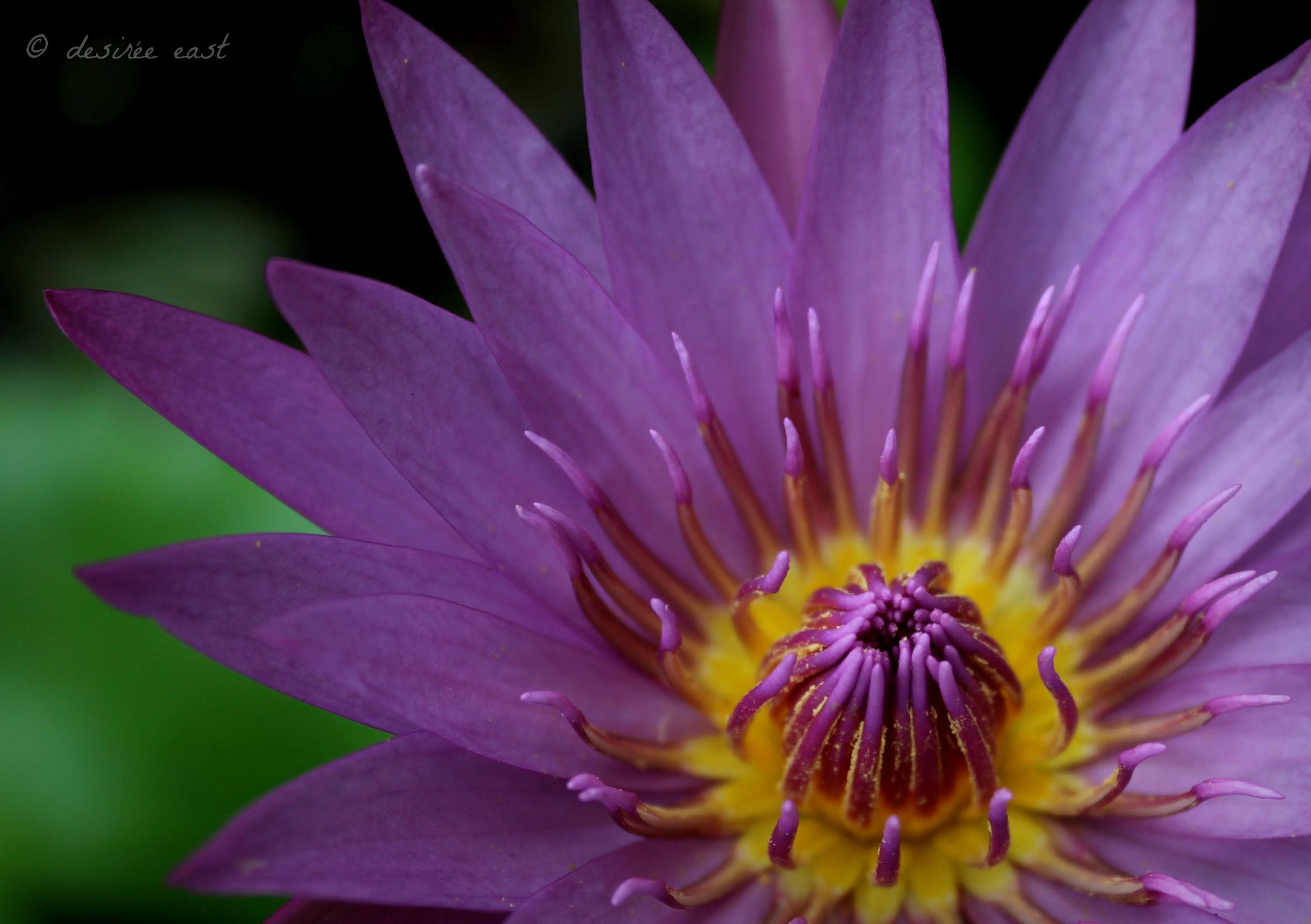 weekly-photo-challenge_purple_photo-by-desiree-east.jpg