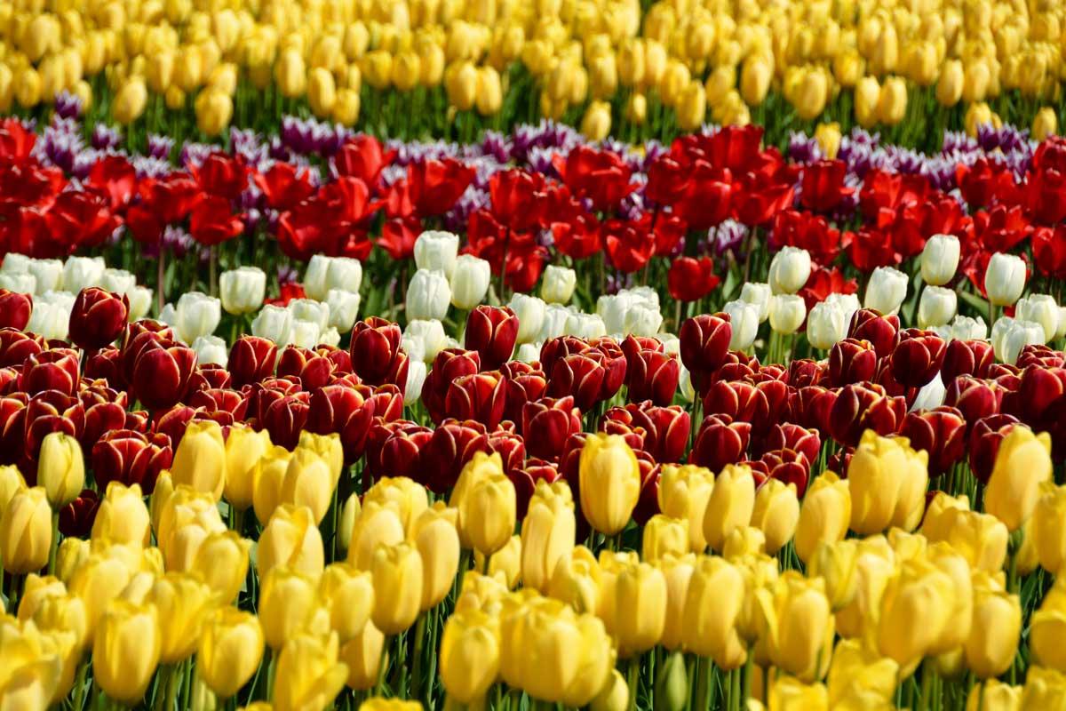 tulips-june-web).jpg