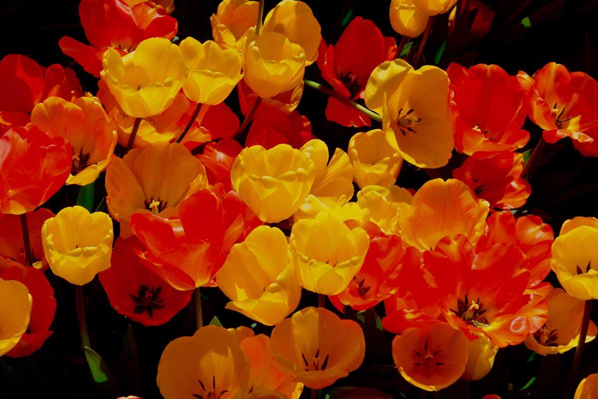 tulips-2-june-web.jpg
