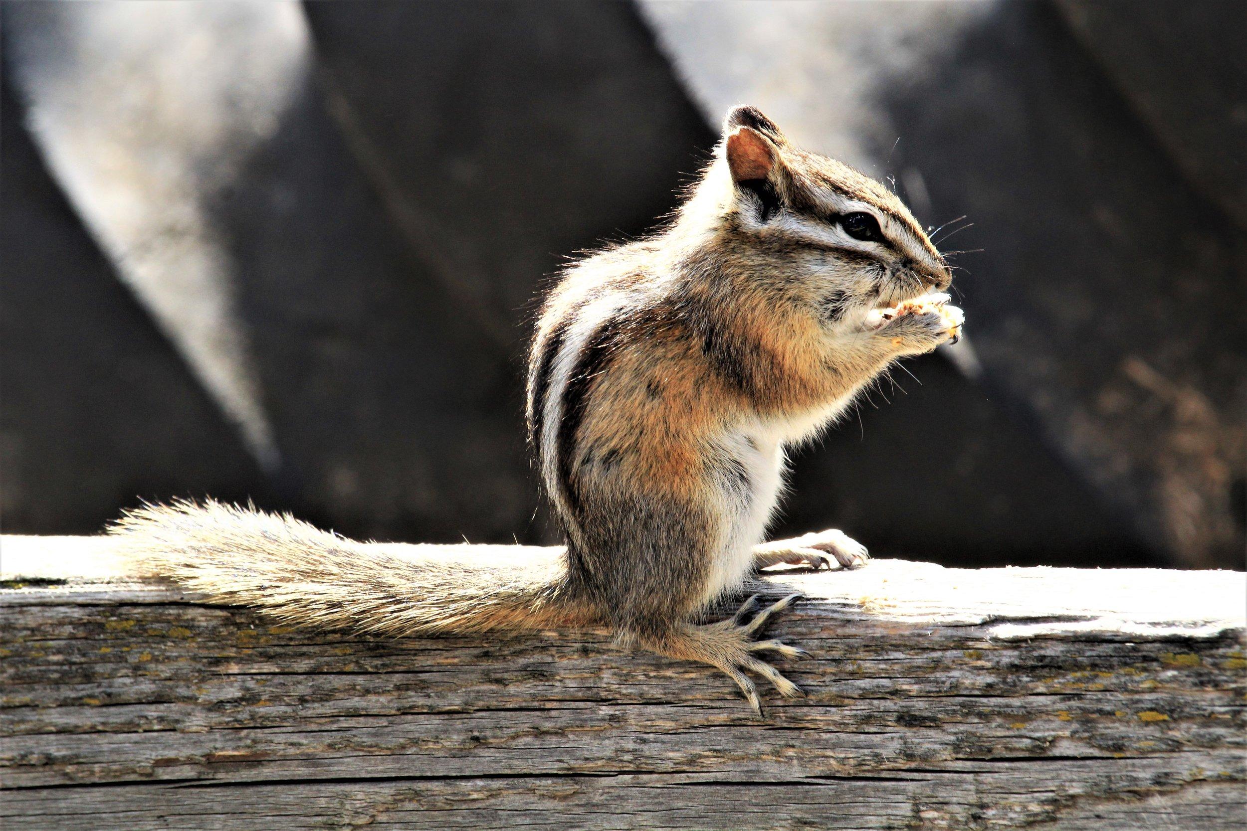 IMG_2821 Chipmunk at Kamloops Wildlife Park.JPG