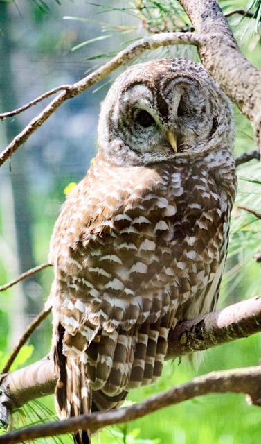 Owl 3.jpeg