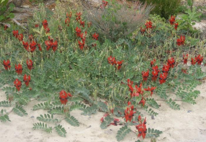 Sturt Desert Pea.jpg