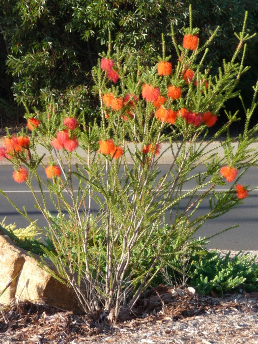 Southwest Bottlebrush 2.jpg