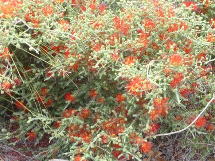 Sand Bottlebrush red 2.jpg
