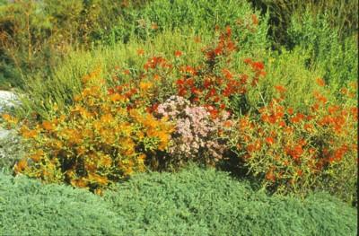 Sand Bottlebrush orange 2.jpg