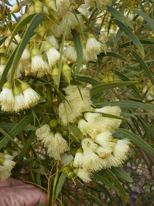 Eucalyptus Beardiana tree form.jpg