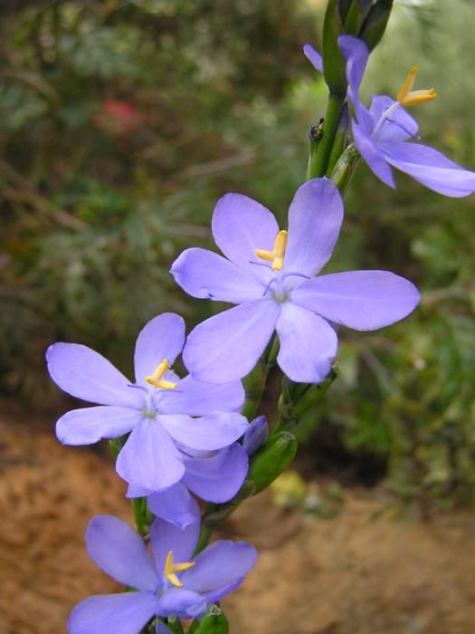 Shade Iris.jpg