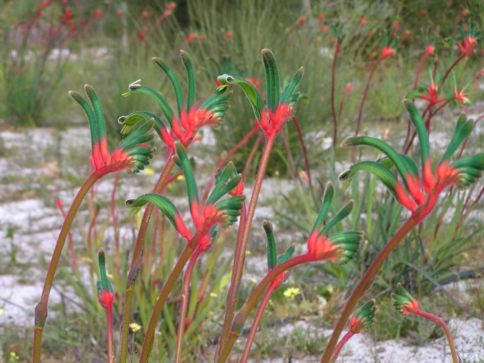 Red & Green Kangaroo Paw.jpg