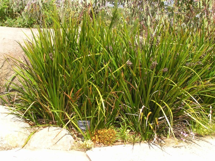 Coastal Sedge.jpg