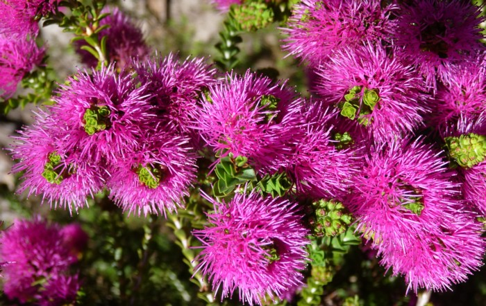 Beaufortia Elegans.jpg