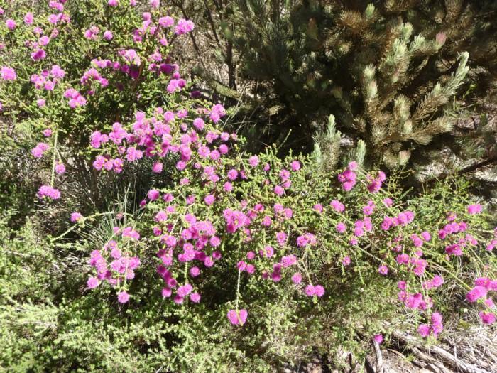 Beaufortia Elegans 2.jpg