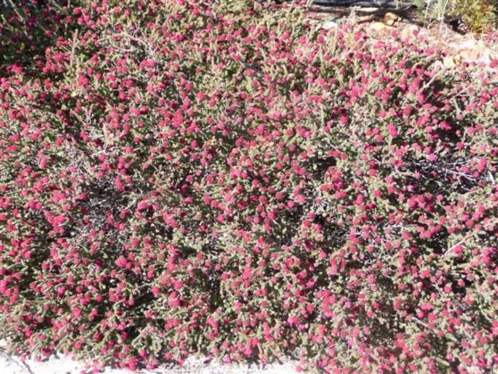Darwinia oldfieldii 2.jpg