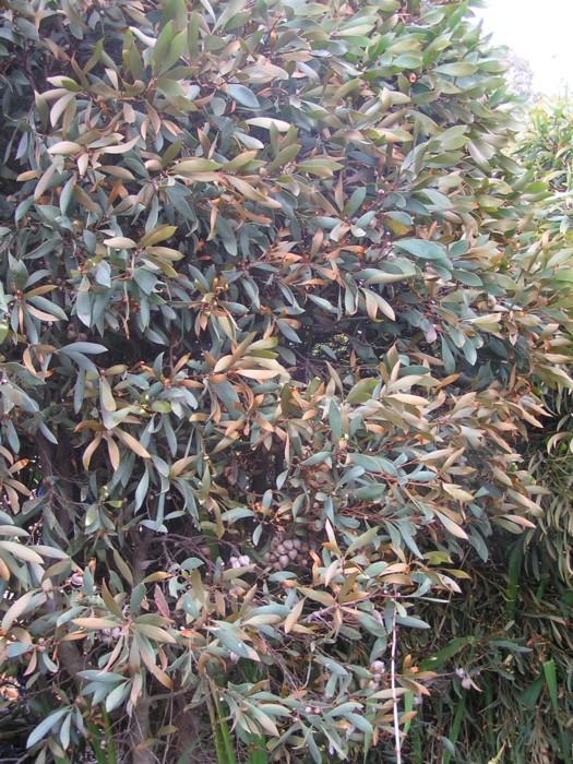 Pincushion Hakea 2.jpg