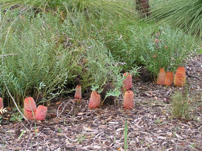 Banksia Blechnifolia 2.jpg