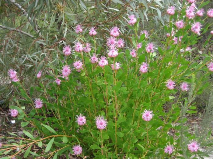 Isopogon Cuneatus 2.jpg