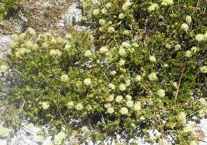 Melaleuca systena prostrate 2.jpg