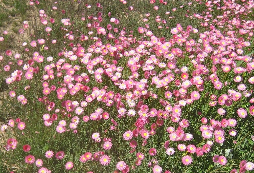 Rhodanthe chlorocephala ssp rosea_habitclose.jpg