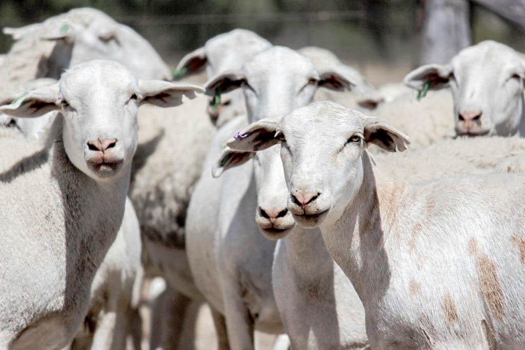 dorper lambs 2 (1 of 1).jpg
