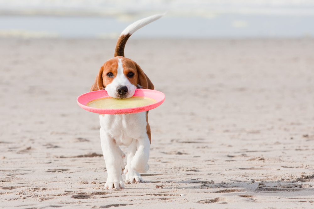 beaglefrisbee.jpg