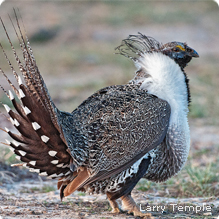 Greater Sage-Grouse (Credit:  Larry Temple )