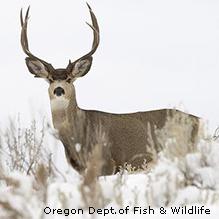 Mule Deer (Credit:  Oregon Department of Fish and Wildlife )