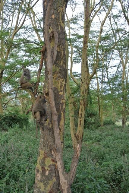 Lake Nakuru (5) (428x640).jpg