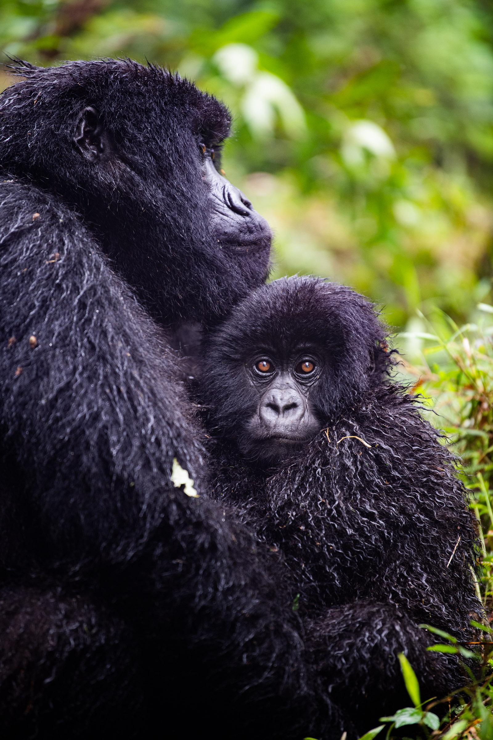 Will Fortescue Gorilla Rwanda