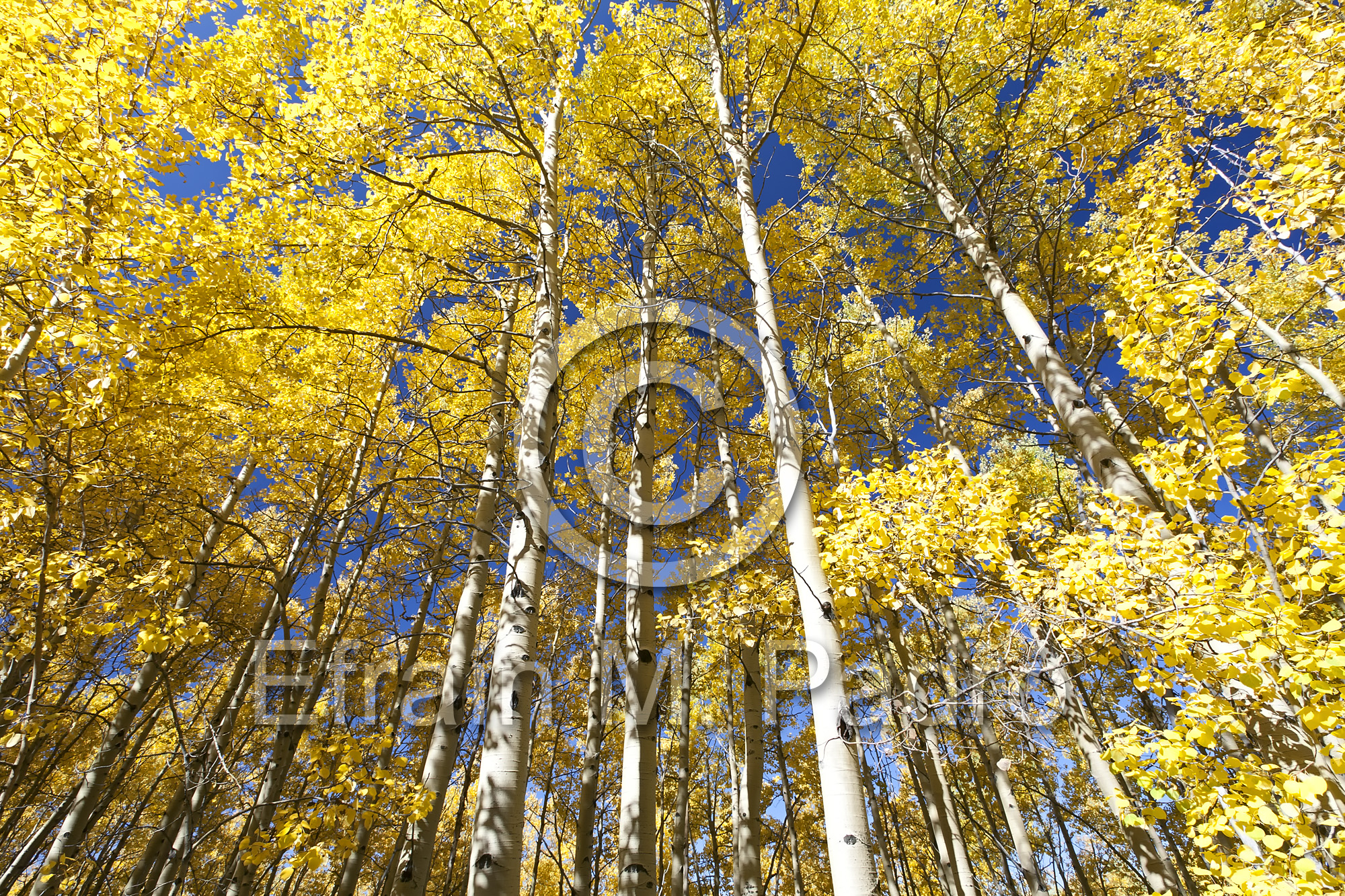 Aspen trees in Fall colors, Aspen Vista Trail, Santa Fe National Forest, New Mexico