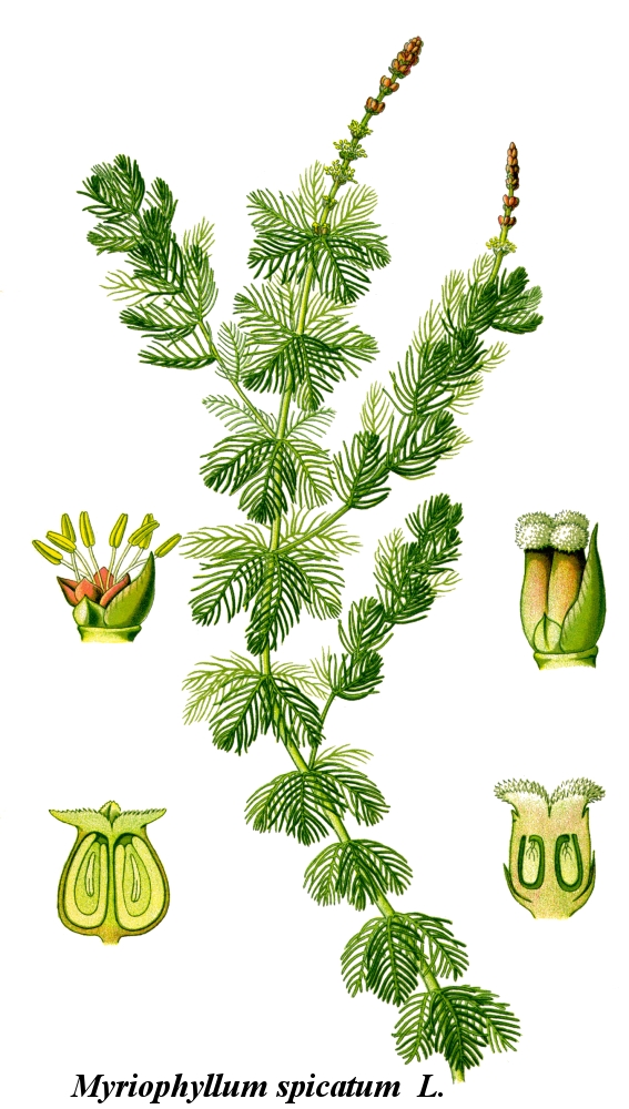Cleaned-Illustration_Myriophyllum_spicatum.jpg