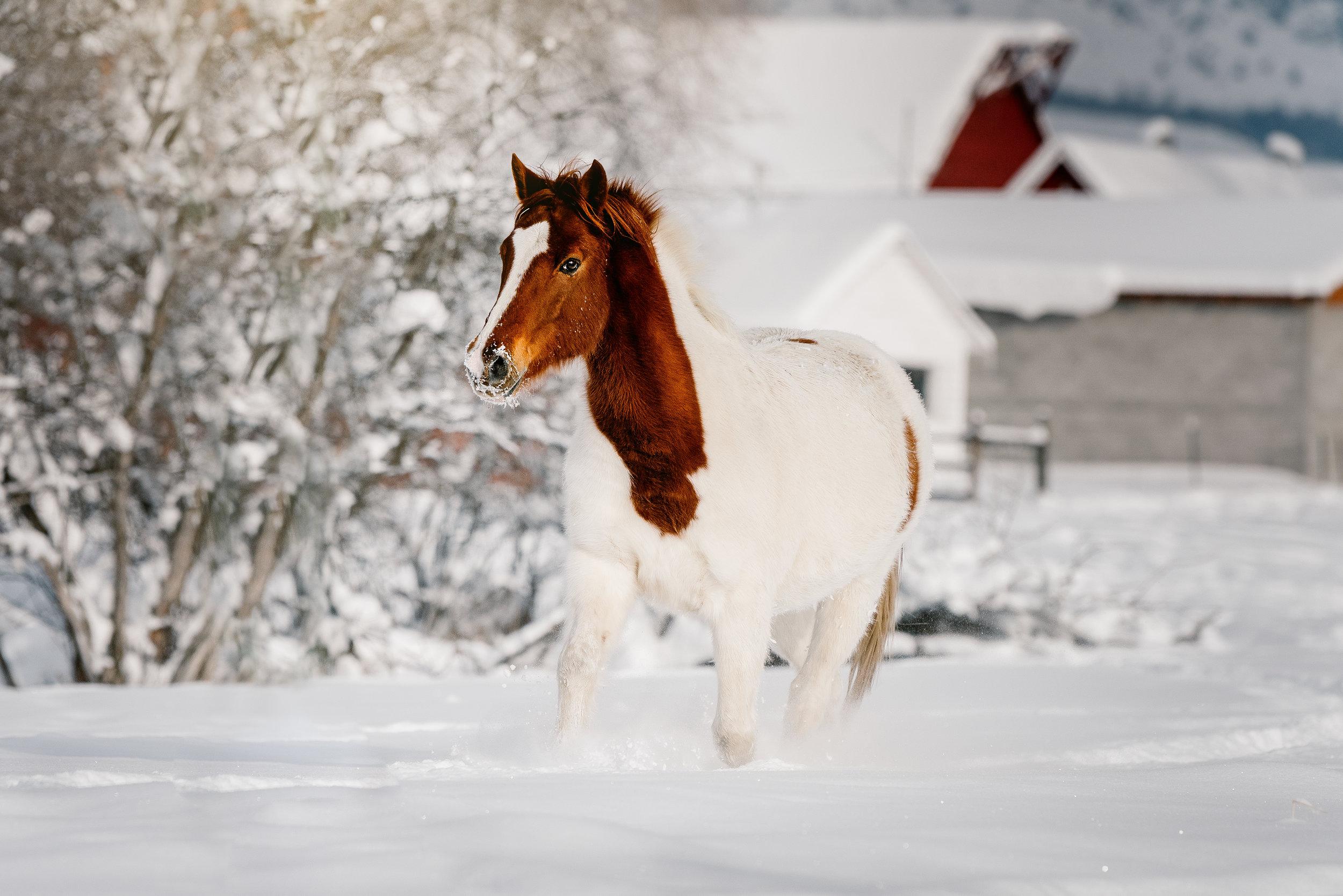 snowhorse_edited-1.jpg