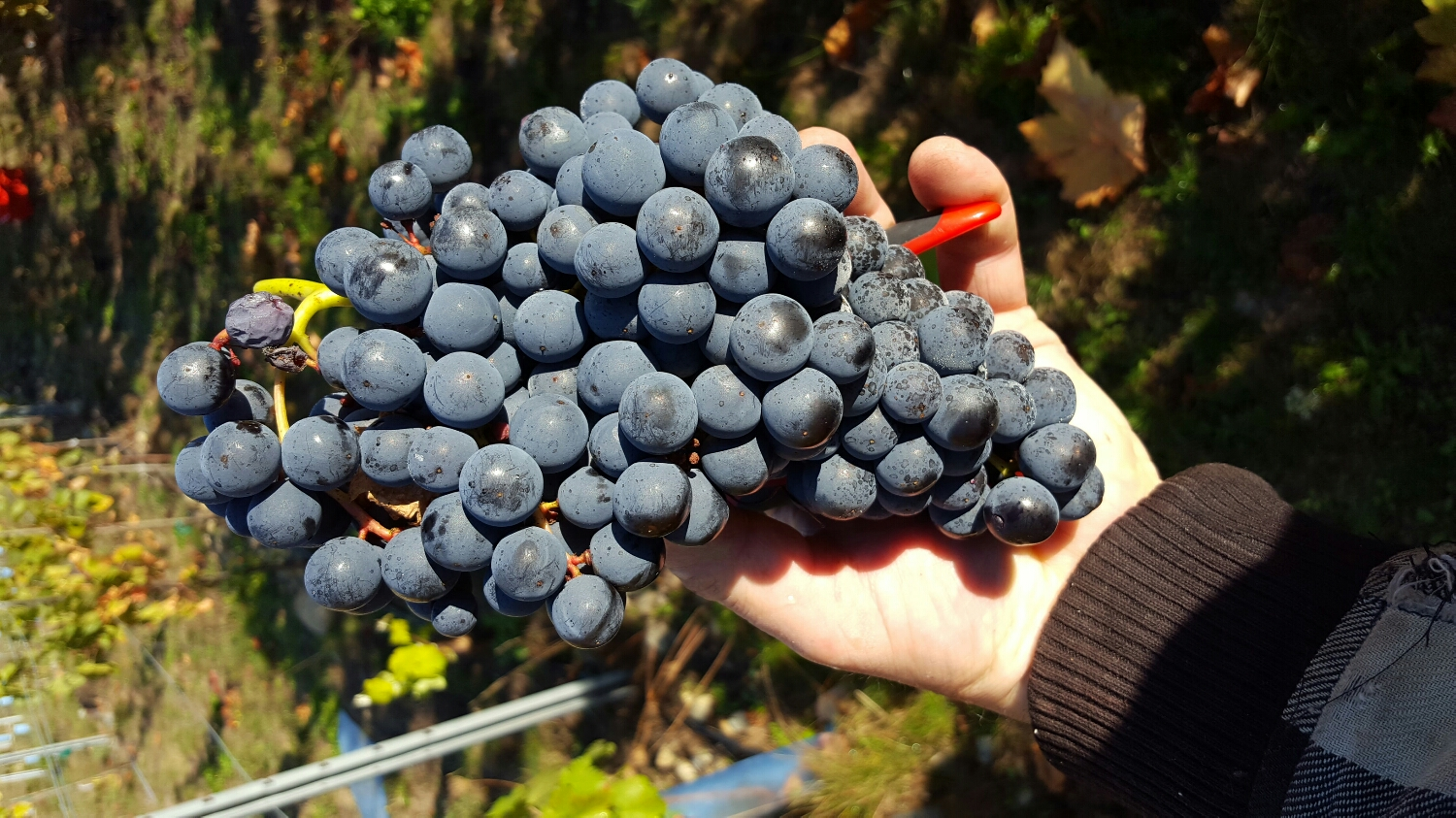 one bunch of tempranillo can be more than enough for a bottle