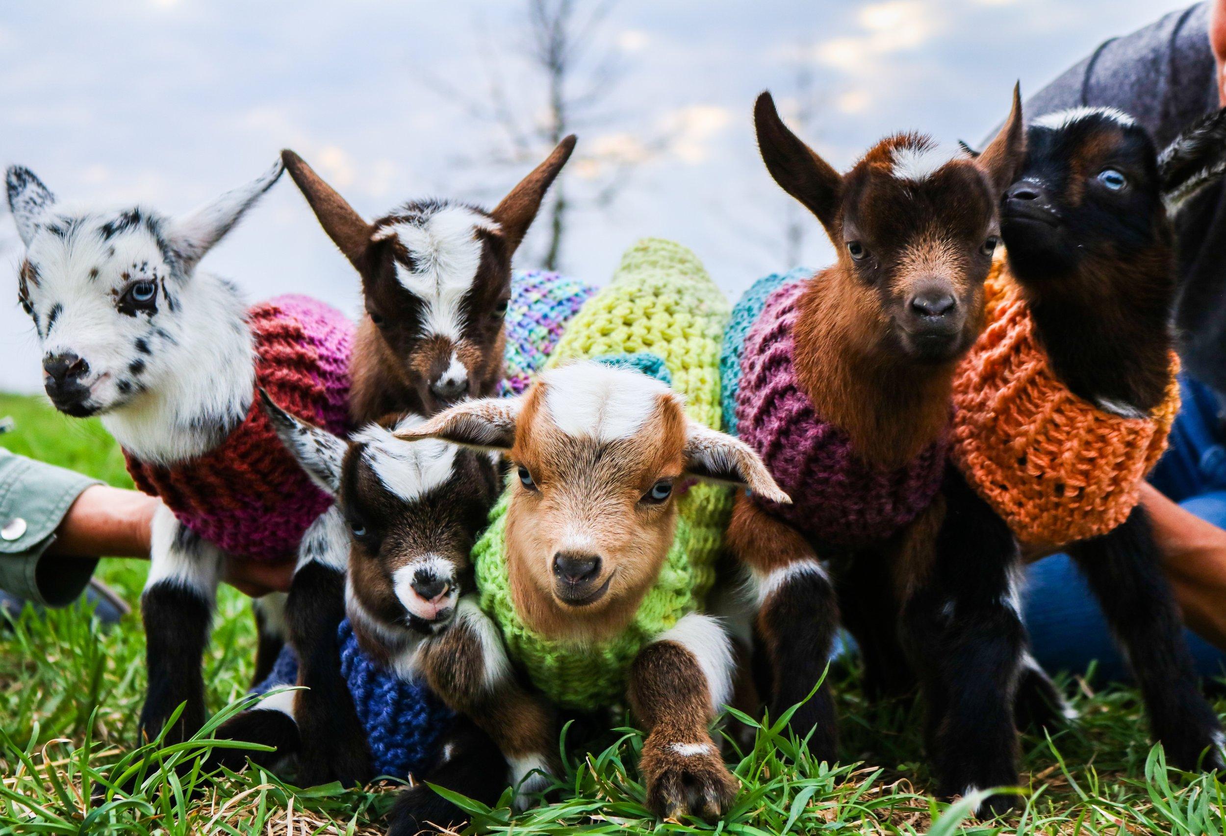 goat 2.jpeg