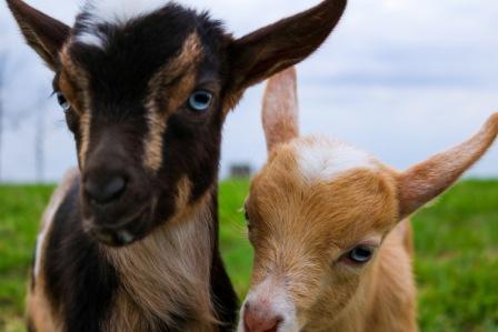 goat 3.jpeg