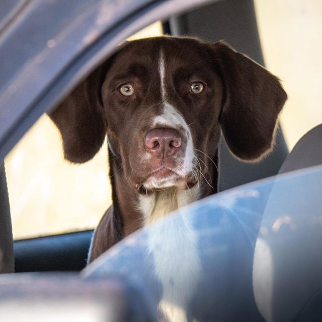 I always love to imagine what a dog is thinking. Any thoughts...? #hamishbaird_photography #dog #dogincar