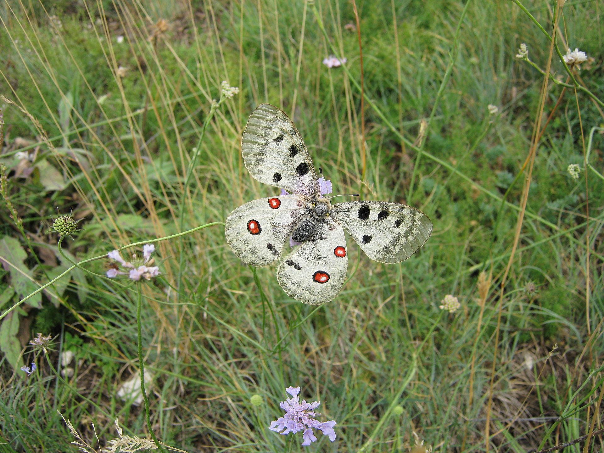 Apollo_Butterfly_of_Gran_Sasso.jpg