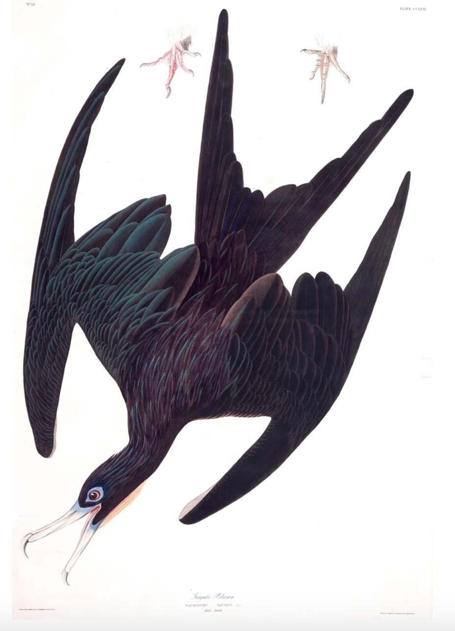 Bird- Frigate £24