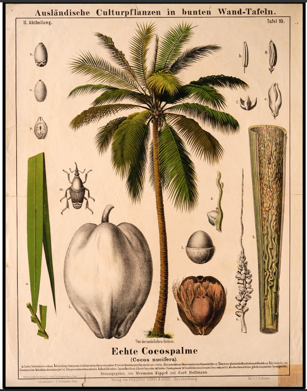Botanical Coco Illustration £24