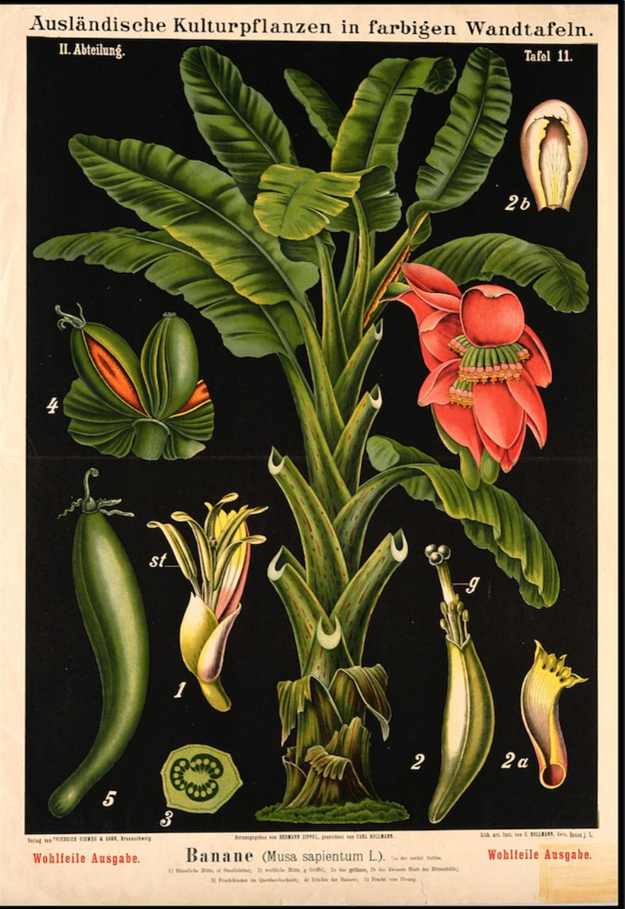 Botanical Banana Flower Illustration £24