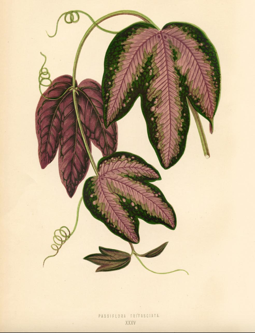 Botanical Leaf – Passion Flower £24