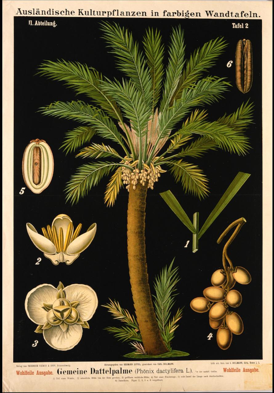 Botanical Date Palm Illustration £24