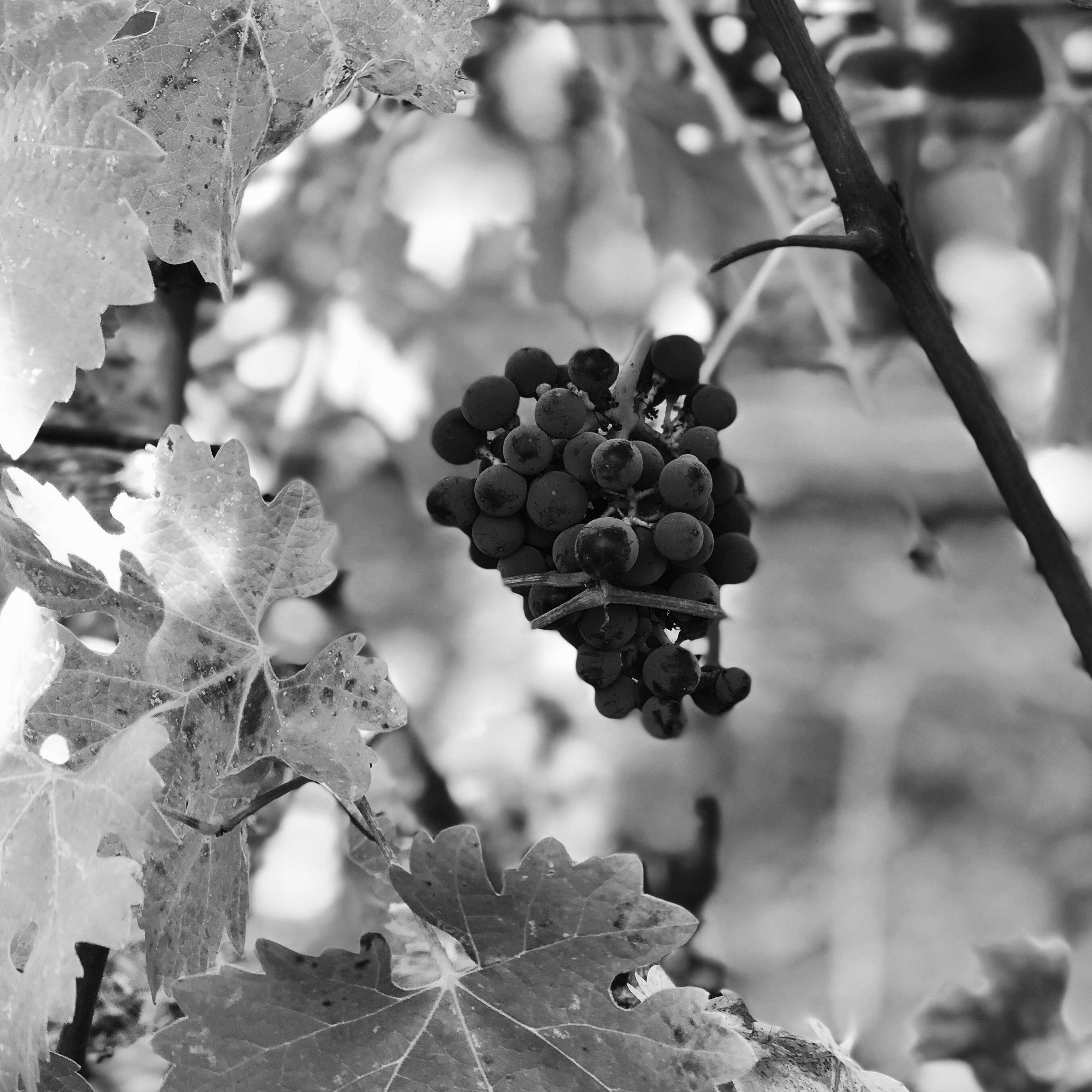 beautiful cabernet cluster - Coombsville vineyard