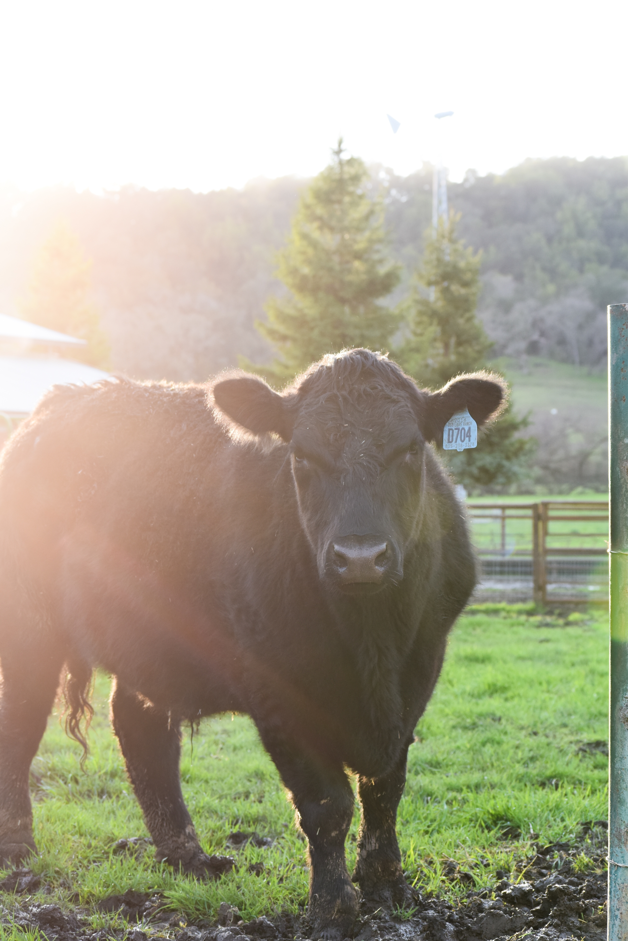 angus - Take a look at our all Estate Angus Beef program.