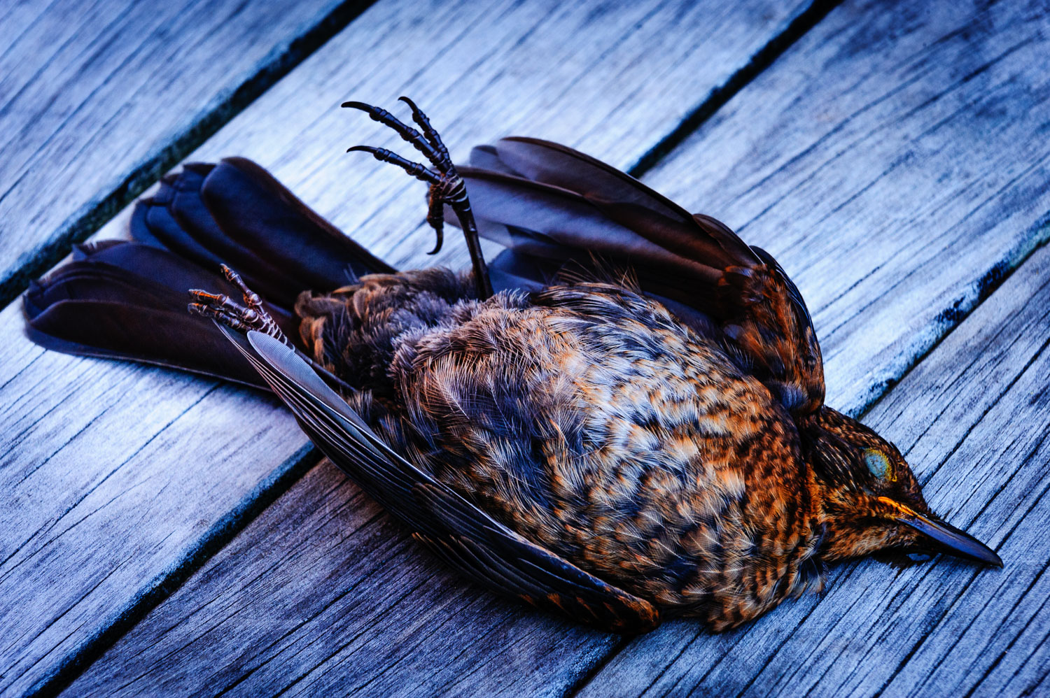 dead-female-blackbird.jpg
