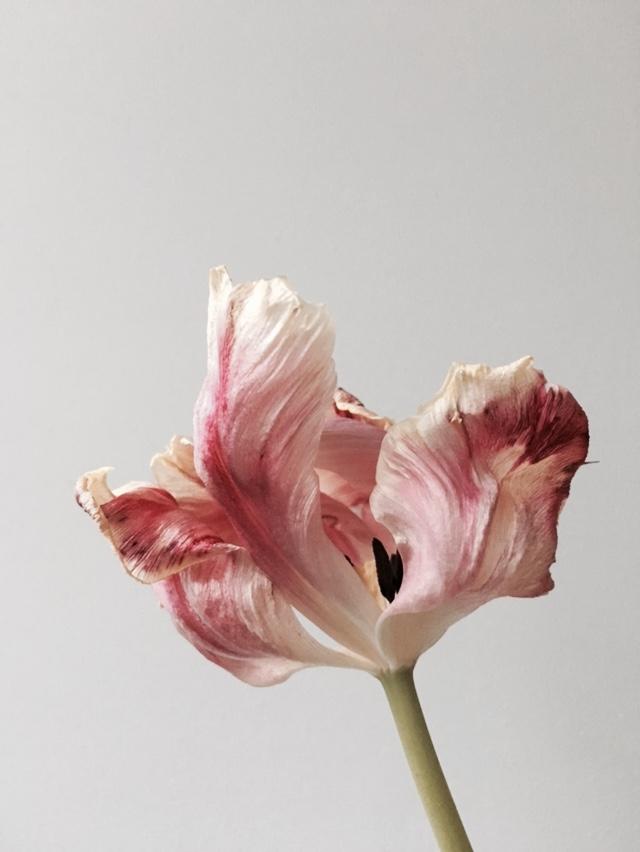 tulip 3.jpg